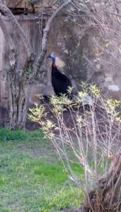 Cassowary, san antonio zoo
