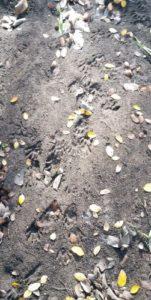 Raccoon footprints McAllister Park, 2014
