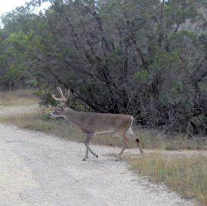 Schnabel Park Deer